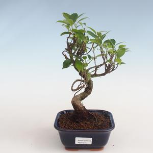 Indoor Bonsai - Ficus kimmen - kleiner Blattficus PB2191314
