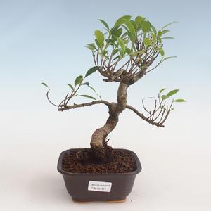 Indoor Bonsai - Ficus kimmen - kleiner Blattficus PB2191317