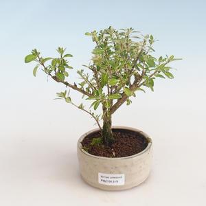 Indoor Bonsai - Serissa foetida Variegata - Baum der tausend Sterne PB2191319