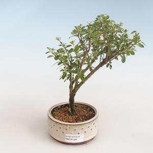 Innenbonsai - Serissa foetida Variegata - Baum von tausend Sternen PB2191326