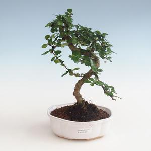 Innenbonsai - Carmona macrophylla - Tee fuki PB2191329