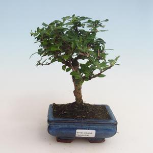 Innenbonsai - Carmona macrophylla - Tee fuki 412-PB2191336