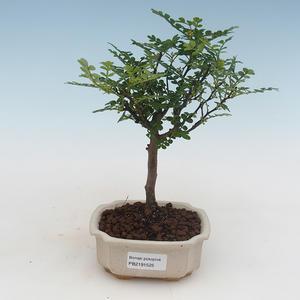 Indoor Bonsai - Zantoxylum piperitum - Pfefferbaum 414-PB2191354