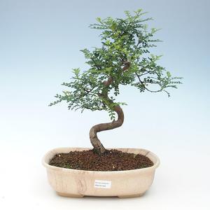 Indoor Bonsai - Zantoxylum piperitum - Pfefferbaum 414-PB2191356