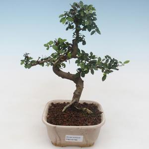 Indoor Bonsai - Zantoxylum piperitum - Pfefferbaum 414-PB2191357