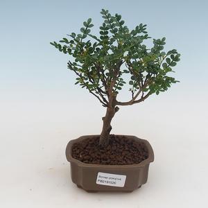 Indoor Bonsai - Zantoxylum piperitum - Pfefferbaum 414-PB2191359