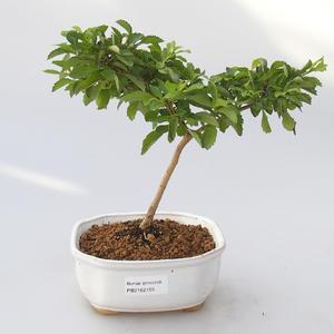 Zimmer Bonsai - Duranta erecta Aurea