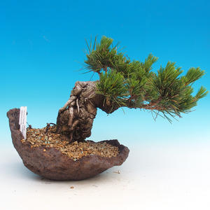 Pinus thunbergii - Kiefer thunbergova