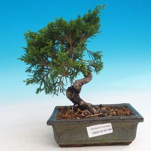 Bonsai im Freien - Juniperus chinensis Itoigava-Chinesischer Wacholder