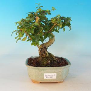 Zimmer Bonsai -Ligustrum chinensis - Vogelperspektive