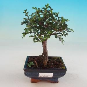 Zimmer Bonsai-Ulmus Parvifolia-Malolist Ulme