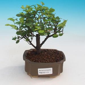 Zimmer Bonsai - Sagerécie thea - Sagerécie thea