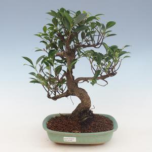 Innenbonsai - Ficus retusa - kleiner Blattficus 2191462