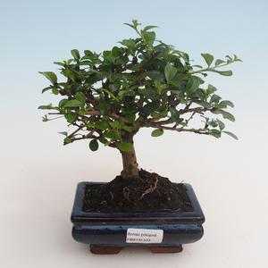 Innenbonsai - Carmona macrophylla - Tee fuki 412-PB2191333