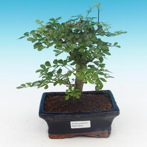 Zimmer Bonsai - Fraxinus uhdeii - Zimmer Jasan
