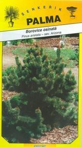 Bristlecone Kiefer - Pinus aristata