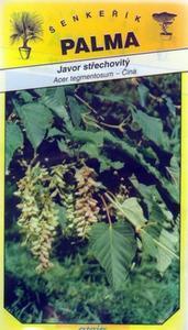 Dach Maple - Acer tegmentosum