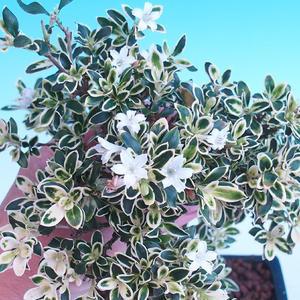 Innenbonsai - Serissa foetida - Baum von tausend Sternen PB2191283