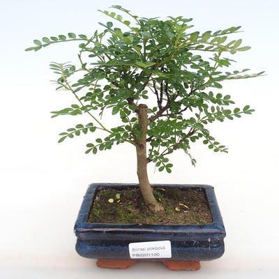 Zimmer Bonsai - Zantoxylum piperitum - Kava - 1