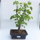 Bonsai im Freien - Ginkgo biloba - 1/4