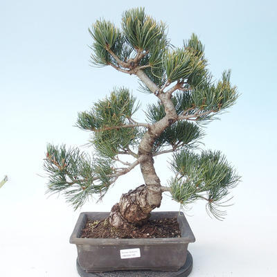 Pinus parviflora - Kleinblumige Kiefer VB2020-125 - 1