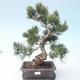 Pinus parviflora - Kleinblumige Kiefer VB2020-125 - 1/3