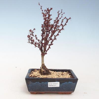 Bonsai im Freien - Berberis thunbergii Atropurpureum - Berberitze VB2020-271 - 1