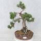 Bonsai im Freien - Pinus Mugo - kniende Kiefer - 1/5