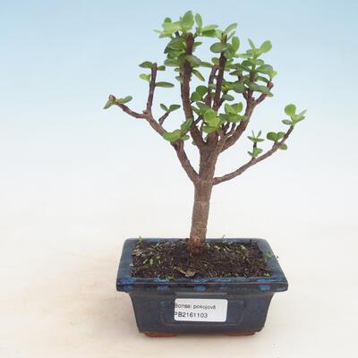 Outdoor Bonsai - Acer Palme. Atropurpureum-Ahorn