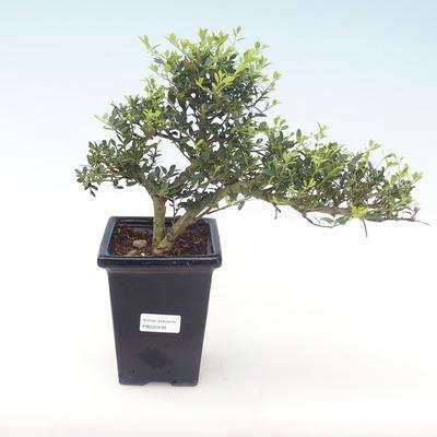 Indoor-Bonsai - Ilex crenata - Holly PB220438
