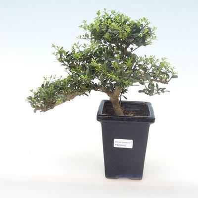 Indoor-Bonsai - Ilex crenata - Holly PB220442