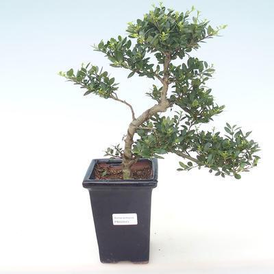 Indoor-Bonsai - Ilex crenata - Holly PB220443
