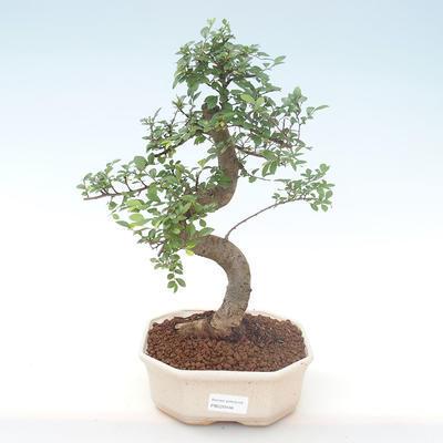 Indoor-Bonsai - Ulmus parvifolia - Kleine Blattulme PB220446 - 1