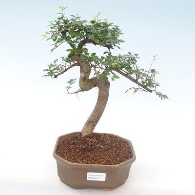 Indoor-Bonsai - Ulmus parvifolia - Kleine Blattulme PB220447 - 1