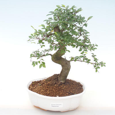 Indoor-Bonsai - Ulmus parvifolia - Kleine Blattulme PB220448 - 1