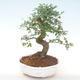 Indoor-Bonsai - Ulmus parvifolia - Kleine Blattulme PB220448 - 1/3