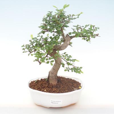 Indoor-Bonsai - Ulmus parvifolia - Kleine Blattulme PB220449 - 1