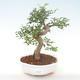Indoor-Bonsai - Ulmus parvifolia - Kleine Blattulme PB220449 - 1/3
