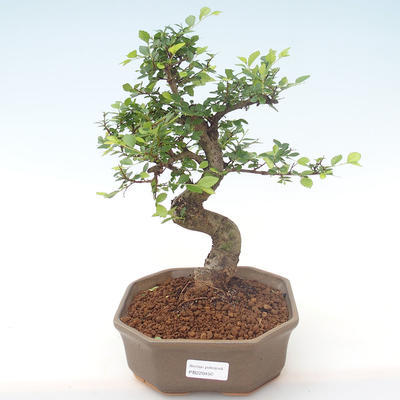 Indoor-Bonsai - Ulmus parvifolia - Kleine Blattulme PB220450 - 1