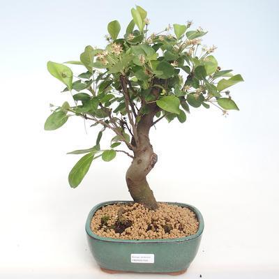 Bonsai im Freien - Malus halliana - Kleiner Apfel VB2020-450 - 1