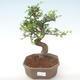 Indoor-Bonsai - Ulmus parvifolia - Kleine Blattulme PB220450 - 1/3