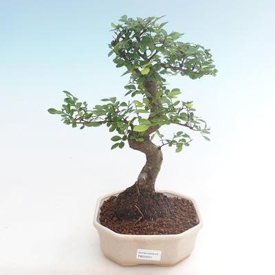Indoor-Bonsai - Ulmus parvifolia - Kleine Blattulme PB220451 - 1