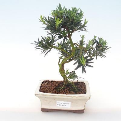 Indoor Bonsai - Podocarpus - Stein Eibe PB220453
