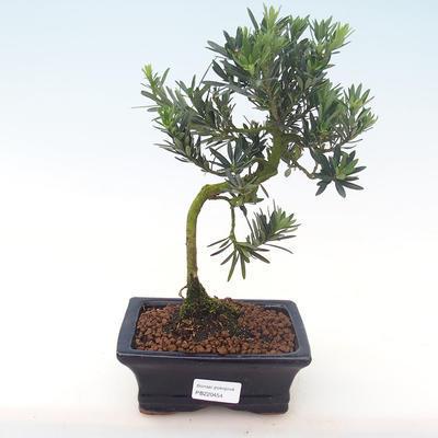 Indoor Bonsai - Podocarpus - Stein Eibe PB220454