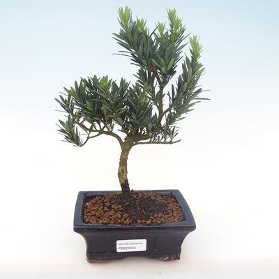 Indoor Bonsai - Podocarpus - Stein Eibe PB220455