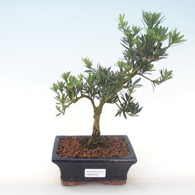 Indoor Bonsai - Podocarpus - Stein Eibe PB220456