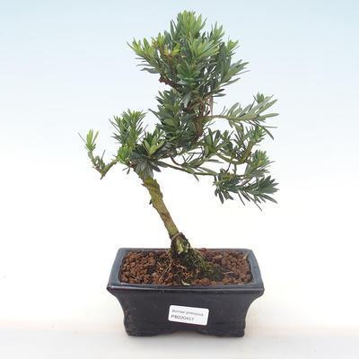 Indoor Bonsai - Podocarpus - Stein Eibe PB220457