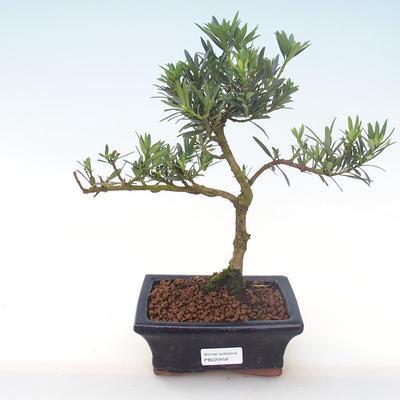 Indoor Bonsai - Podocarpus - Stein Eibe PB220458