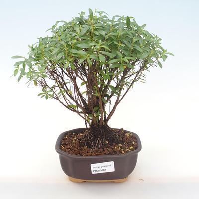 Indoor Bonsai - Cuphea - Japanische Myrte PB220461