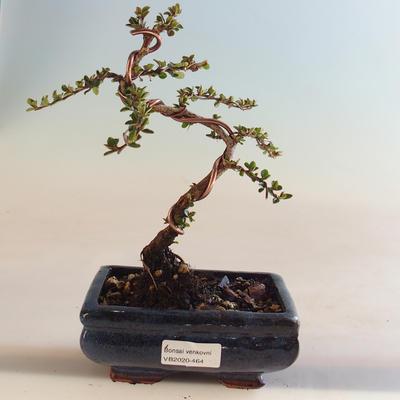 Outdoor Bonsai-Cotoneaster horizontalis-Cotoneaster VB2020-464 - 1